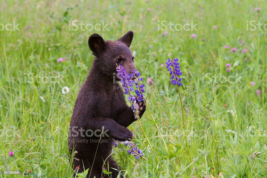 Black Bear Cub Standing and Smelling Flowers stock photo