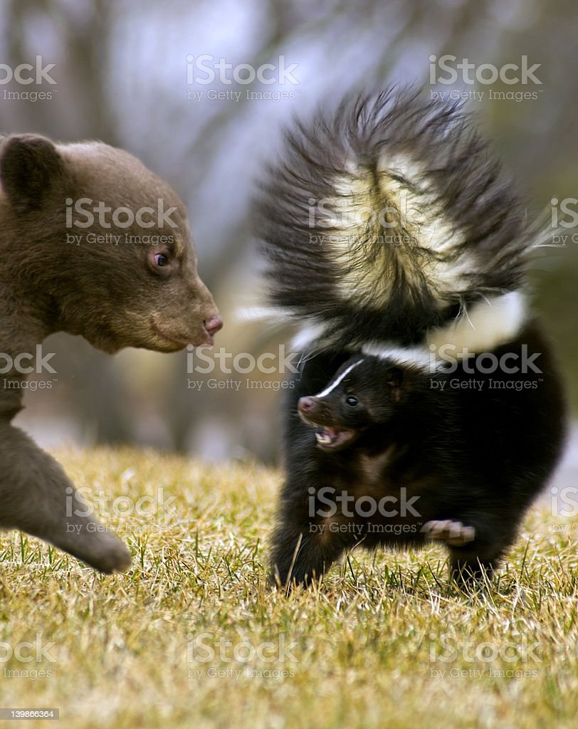 Black Bear Cub Threatens Striped Skunk with Motion blur stock photo