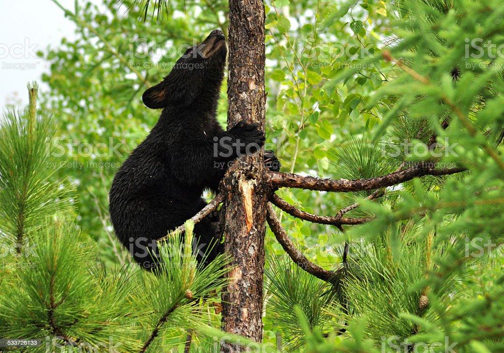 Black Bear Cub up a tree. stock photo