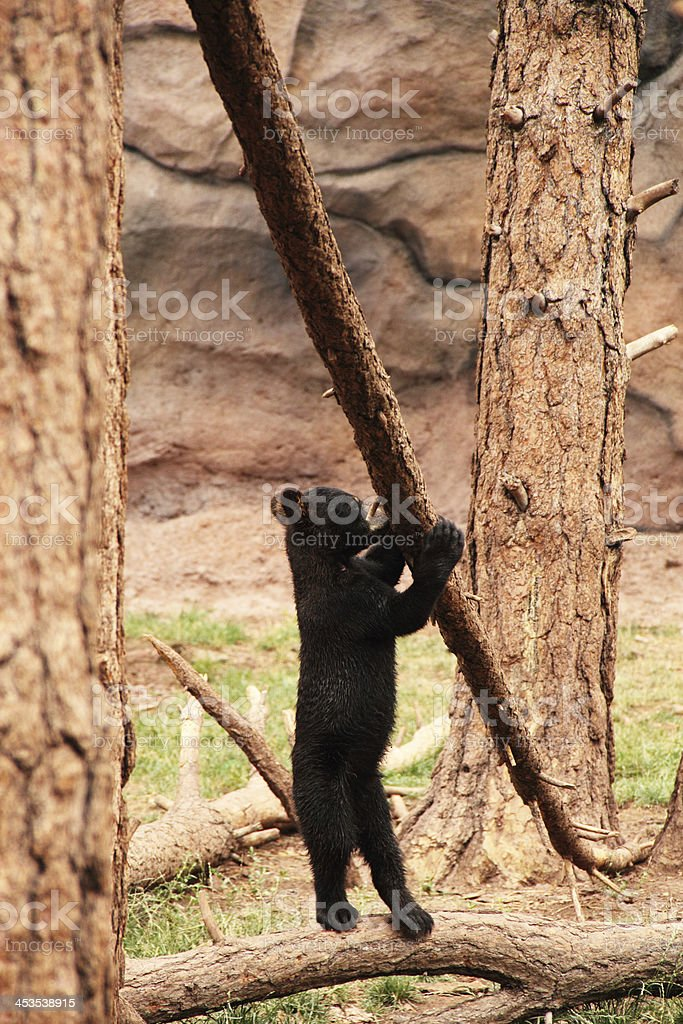 Black Bear Cub  Ursus Americanus royalty-free stock photo