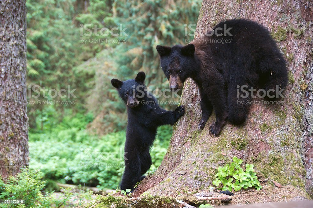 Black Bear Cubs at the Foot of a Tree stock photo