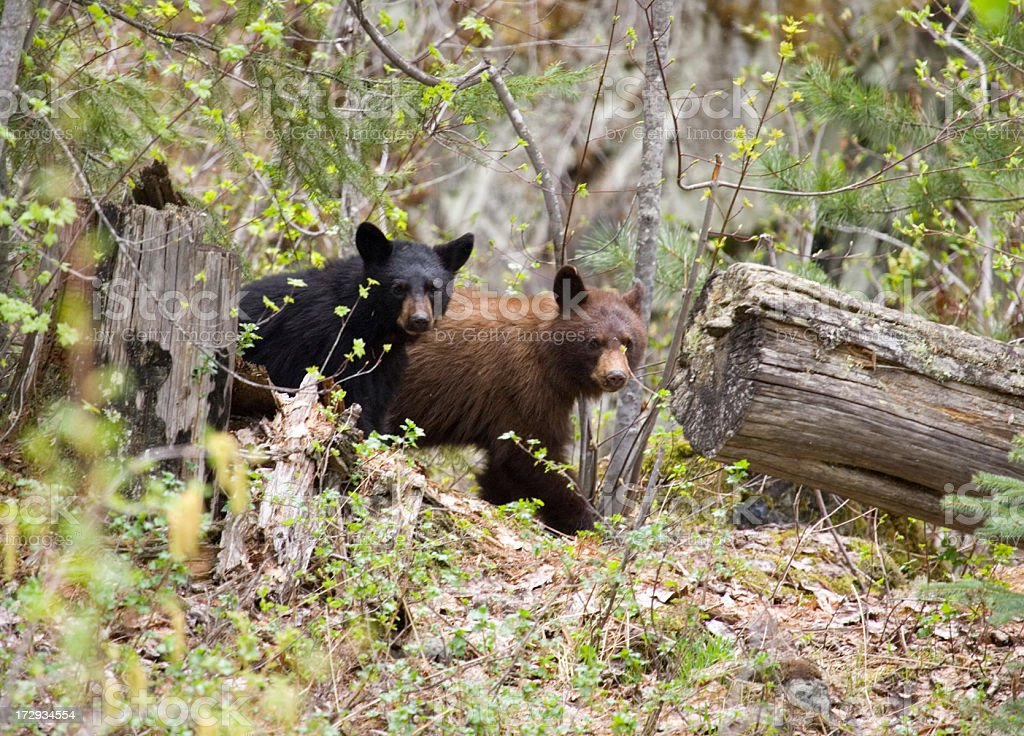 Black Bear Cubs in the Woods stock photo