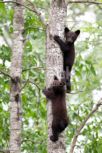 istock Black Bear cubs 184321027