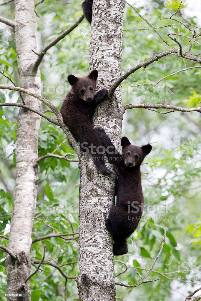 Black Bear cubs stock photo