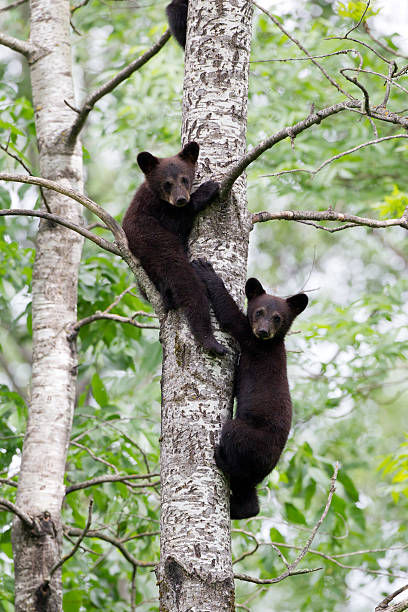 black bear cubs - ourson photos et images de collection
