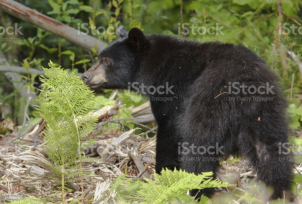 Black Bear Eating a Fern stock photo