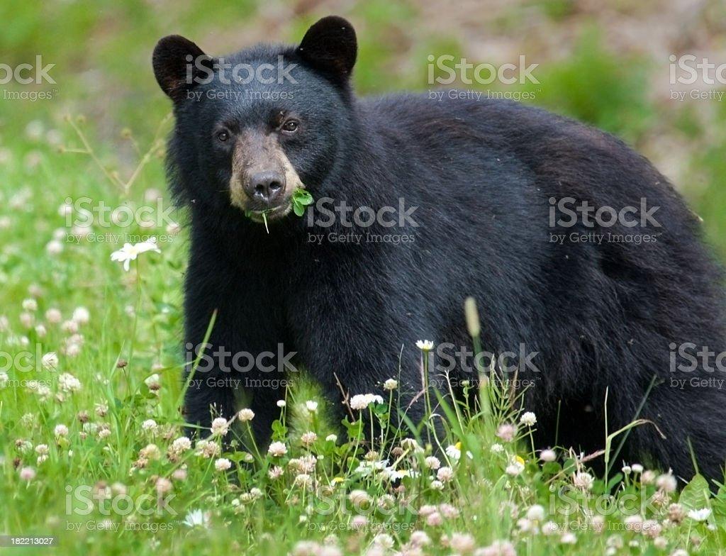 Black Bear eating clover stock photo