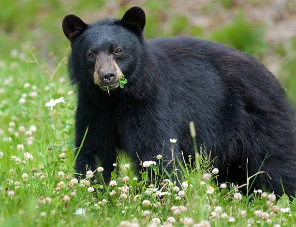 Black Bear manger Trèfle - Photo