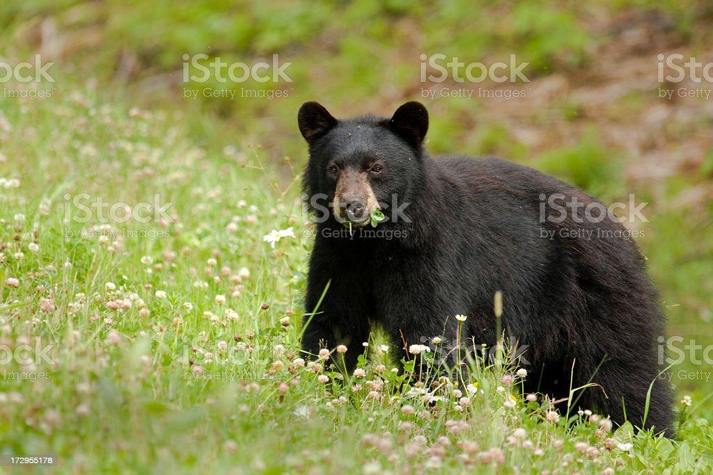 Black bear eating grass in wild flower meadow stock photo