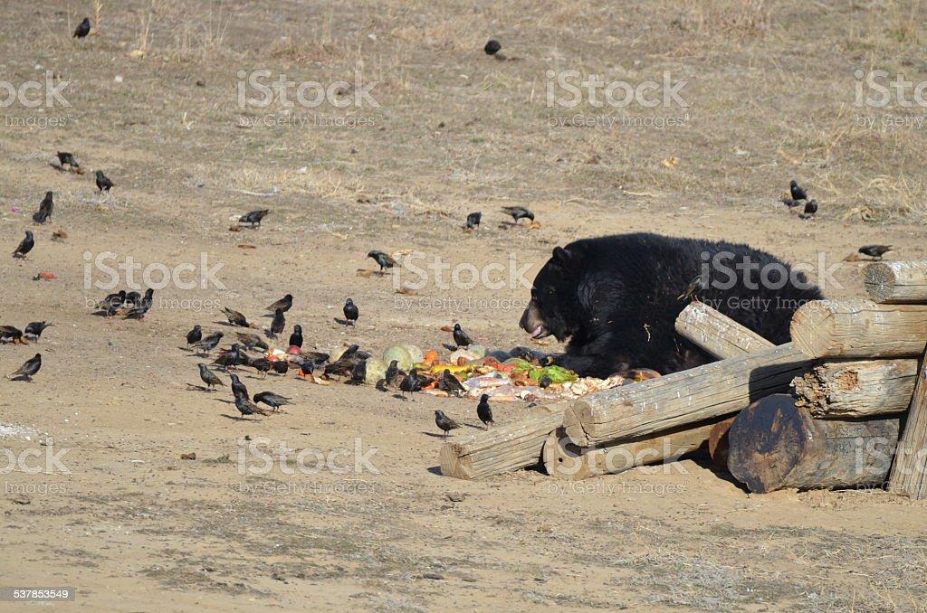 Black Bear eating stock photo