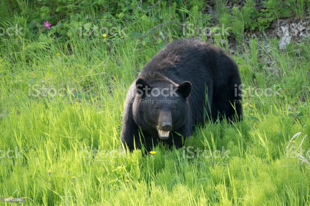 Black bear eating plants along Alaska Highway northern British Columbia Canada stock photo