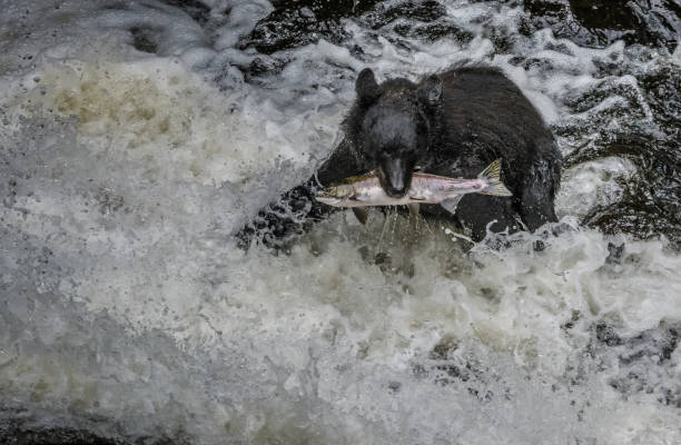 Black bear eating salmon in a cold Alaska stream stock photo