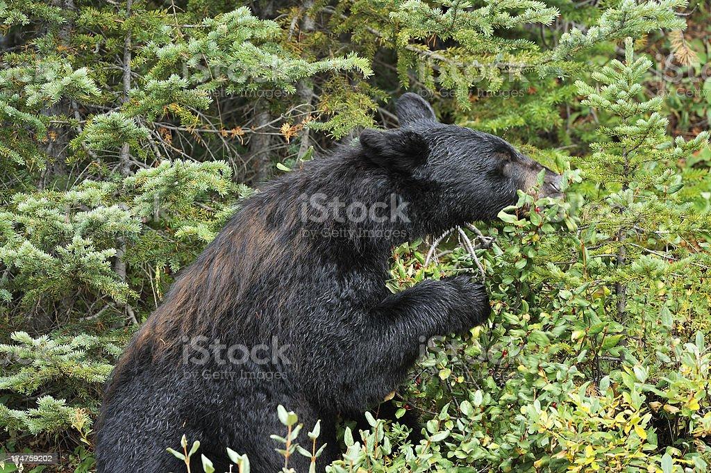 Black bear eating wild berries royalty-free stock photo