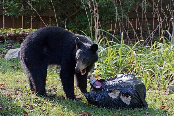 urso preto come tostar de roubado saco de lixo - desperdício alimentar imagens e fotografias de stock