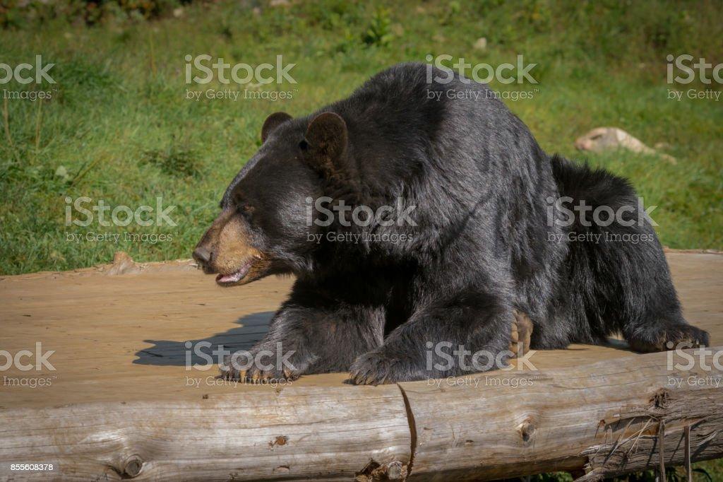 Black bear enjoying the summer sun stock photo