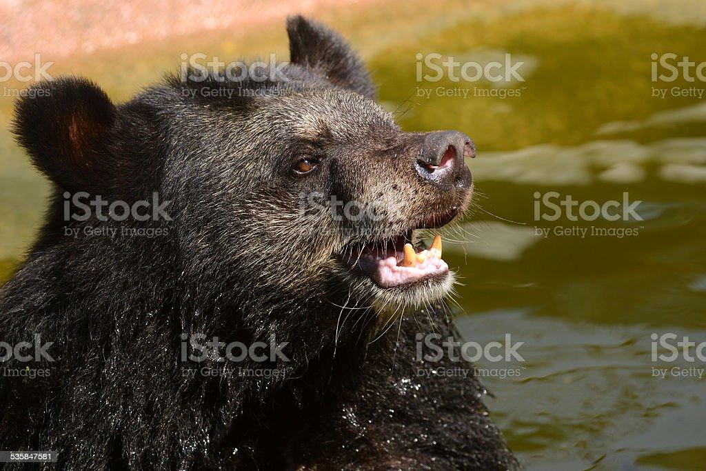 Black bear face close-up stock photo