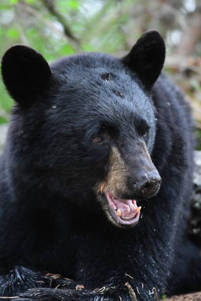 Black Bear Face stock photo