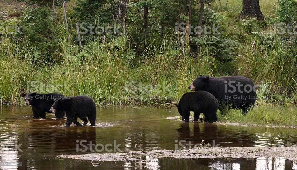 Black bear family stock photo