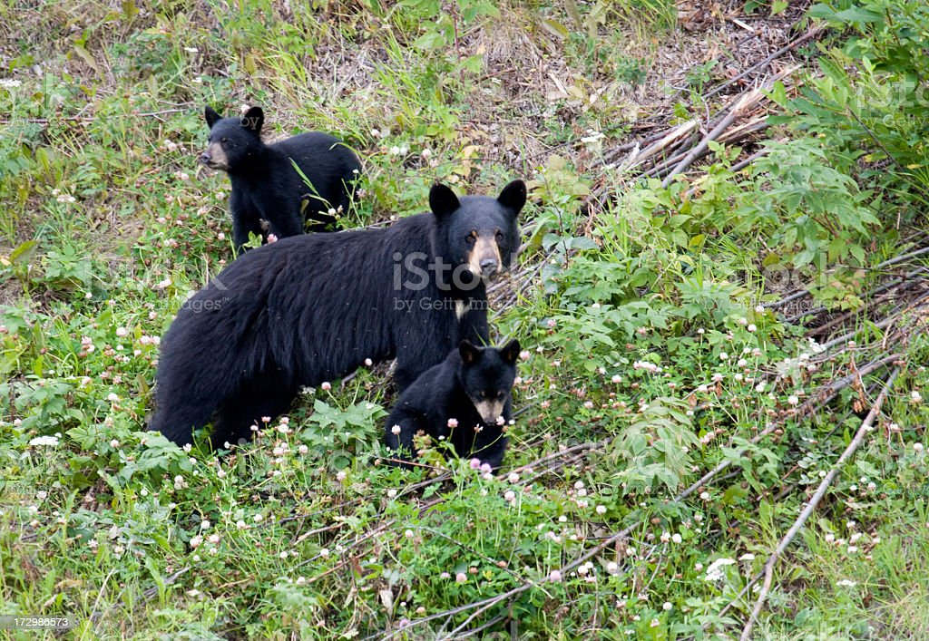 Black Bear Family - Sow & 2 cubs stock photo