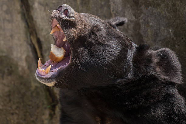 Black bear feeding stock photo
