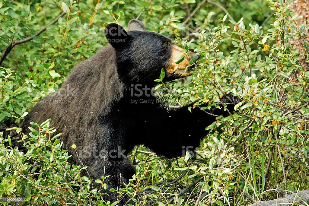 Black Bear feeding stock photo
