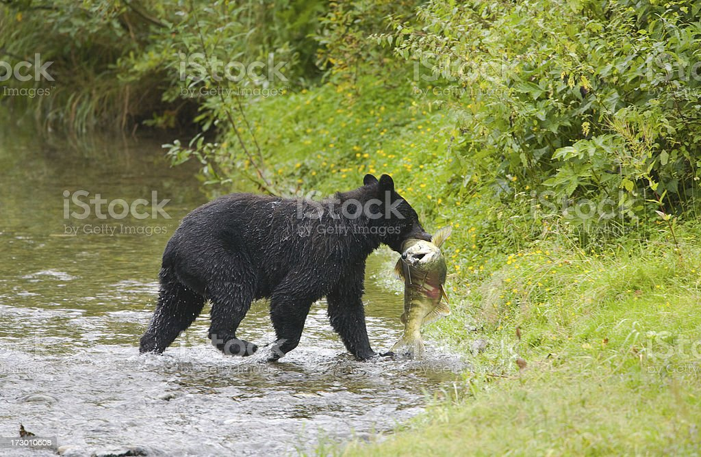 Black bear fishing in a creek stock photo more pictures for Illinois fishing license cost