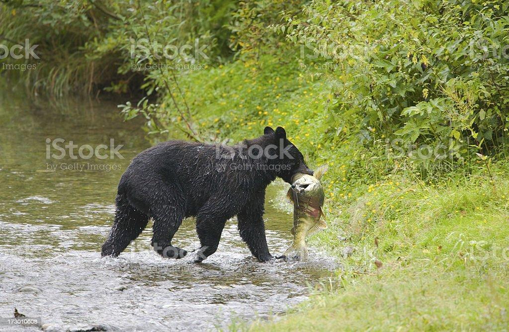 Black Bear Fishing in a Creek royalty-free stock photo