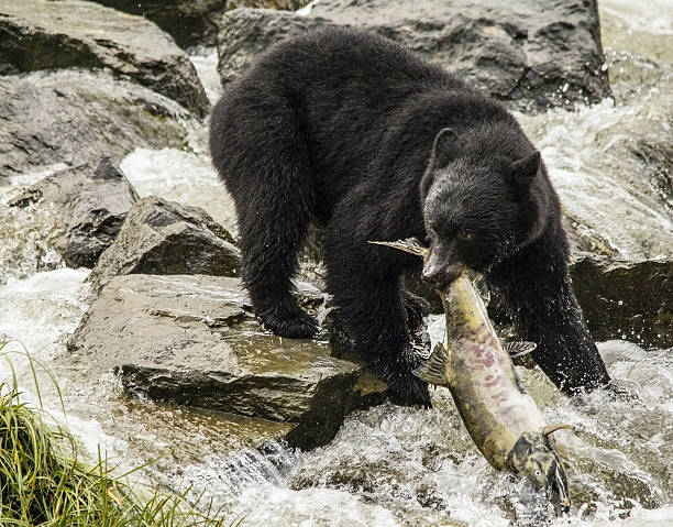 Black Bear Fishing A black bear catches a large salmon in Ketchikan, Alaska. ketchikan stock pictures, royalty-free photos & images