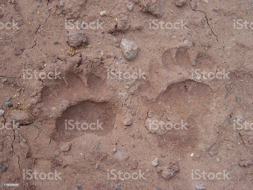 Black Bear footprints 2 stock photo