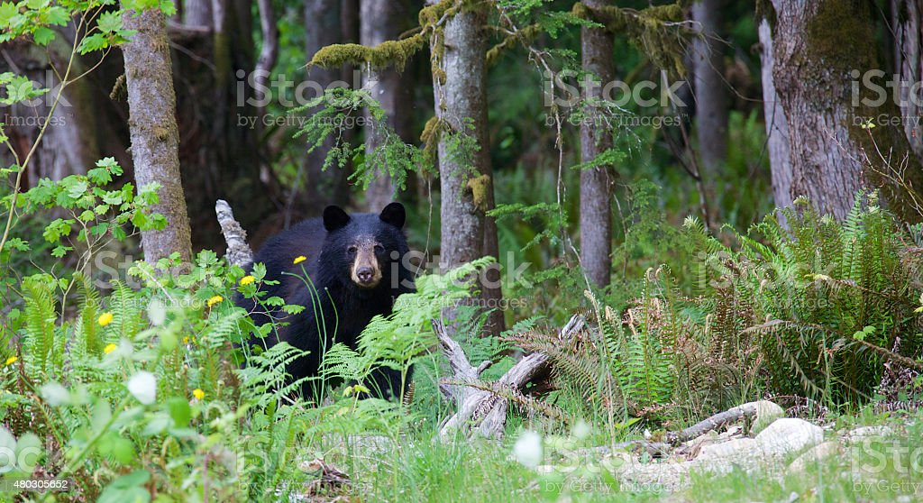Black bear in a forest in British Columbia Canada stock photo