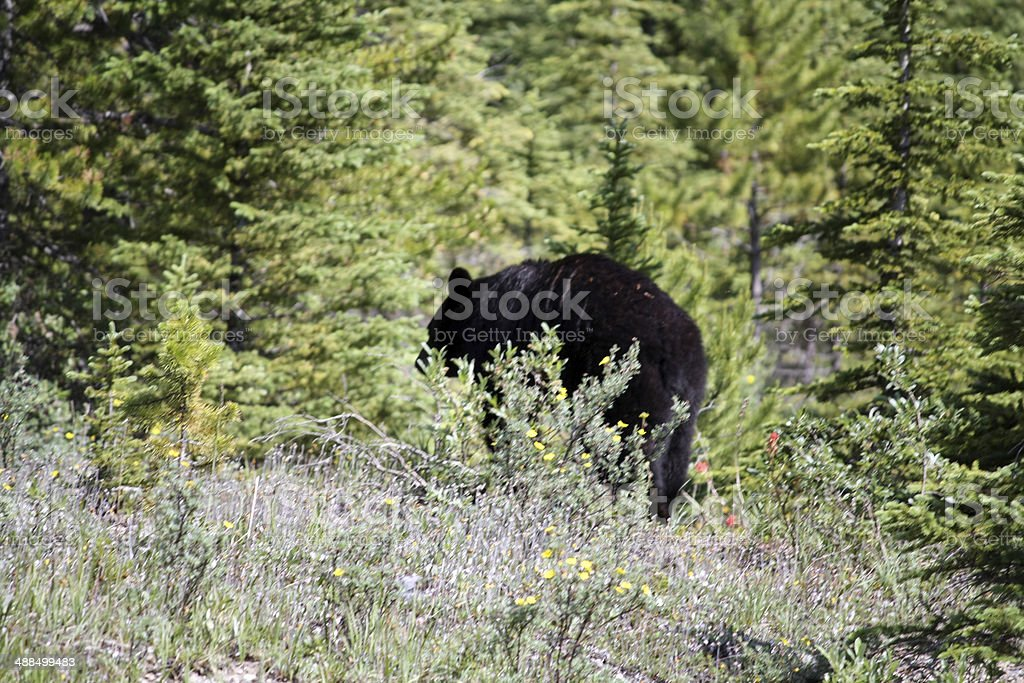 Black bear in a forest stock photo