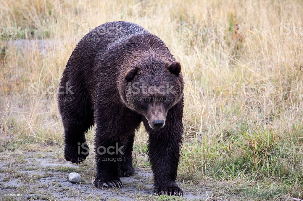 Black bear (Ursus americanus) in Alaska stock photo