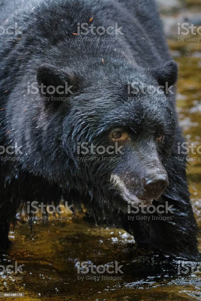 Black Bear in Canada's Great Bear Rainforest stock photo