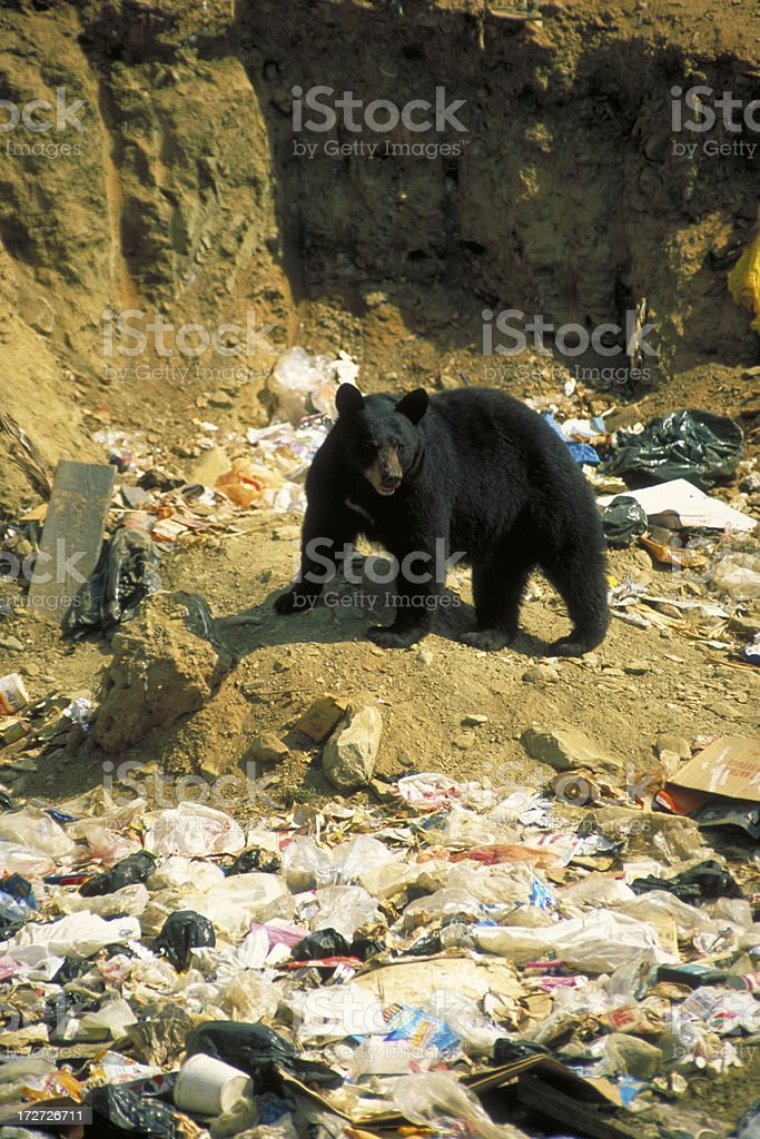Black Bear in Garbage Dump stock photo