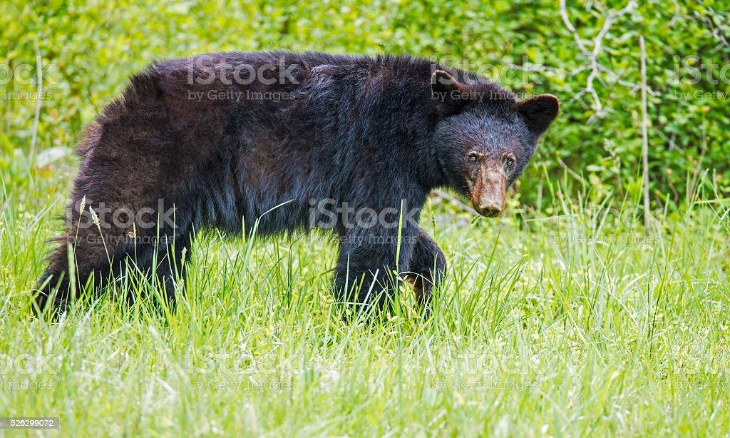 Black Bear in green grass stock photo