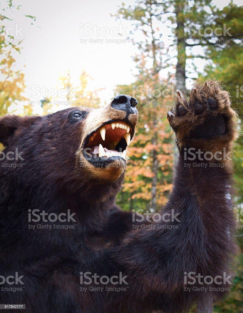 Black Bear in Nova Scotia, Canada. stock photo