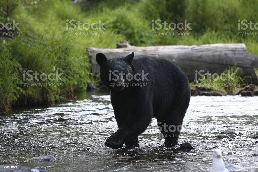 Black Bear in River stock photo