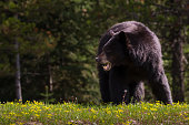This large female black bear grazes on a hillside near Jackson Lake in Grand Teton National Park.