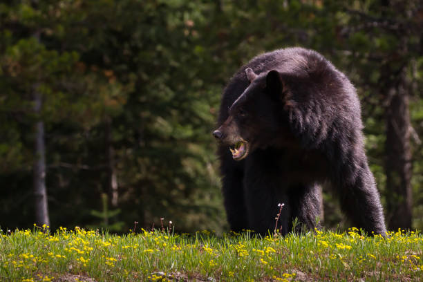 Black Bear in Spring stock photo