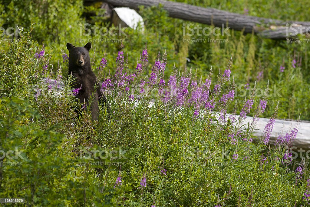Black Bear in the Bike Park stock photo