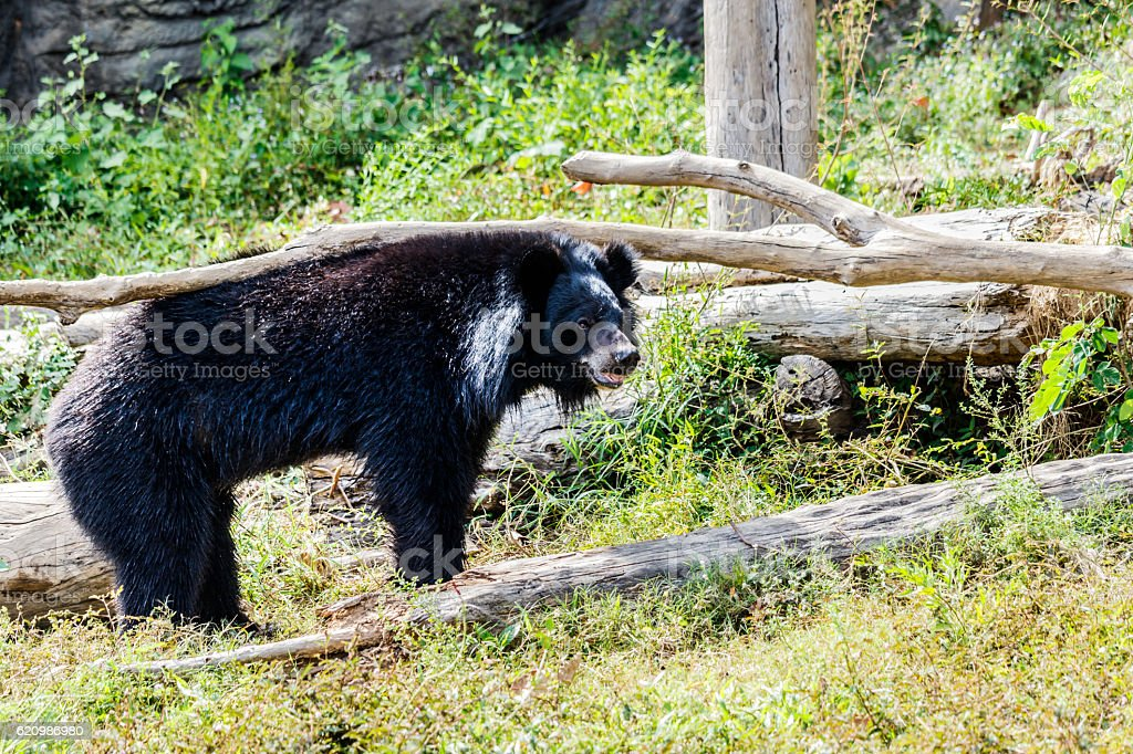 Black bear in the forest. foto royalty-free