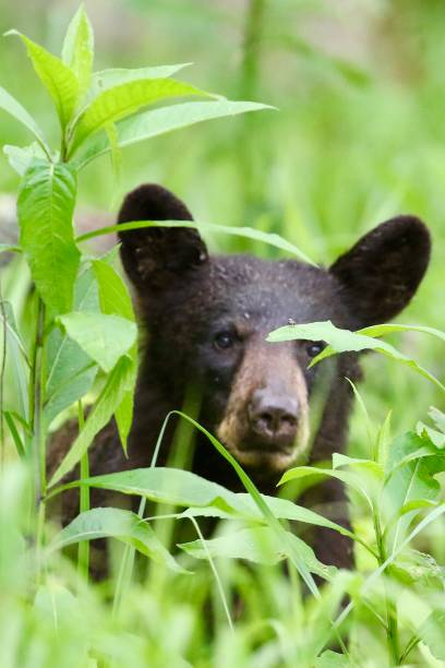 Black Bear in the grass stock photo