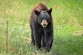 Black bear in the meadow