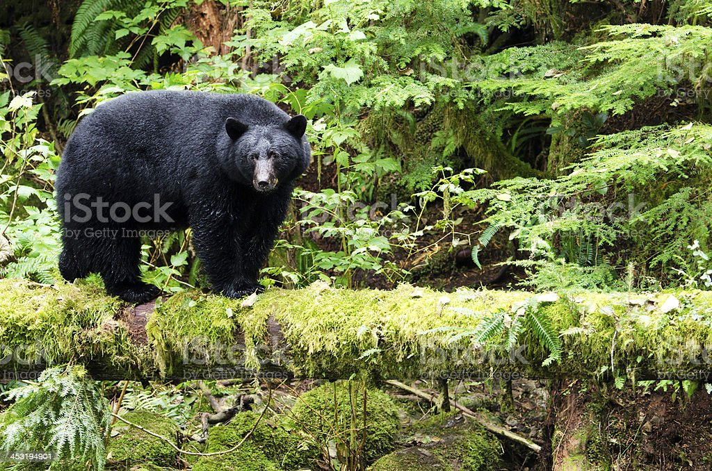 Black Bear in the Rain Forest, Canada stock photo