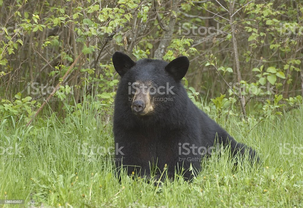 Black Bear in the Wild - Riding Mountain National Park royalty-free stock photo