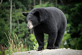 A wild Black Bear. Adobe RGB color profile.