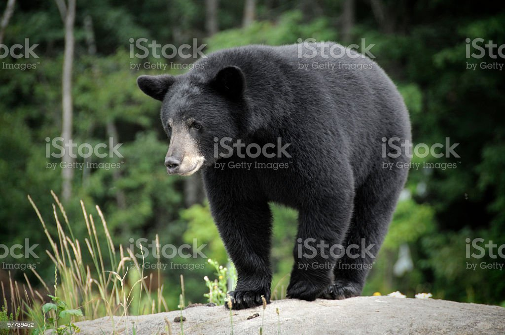 Black bear in the wilderness on a rock stock photo