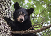 Madeline Island, Wisconsin, USA - May 24, 2015: Black Bear Yearling in a tree on Madeline Island.