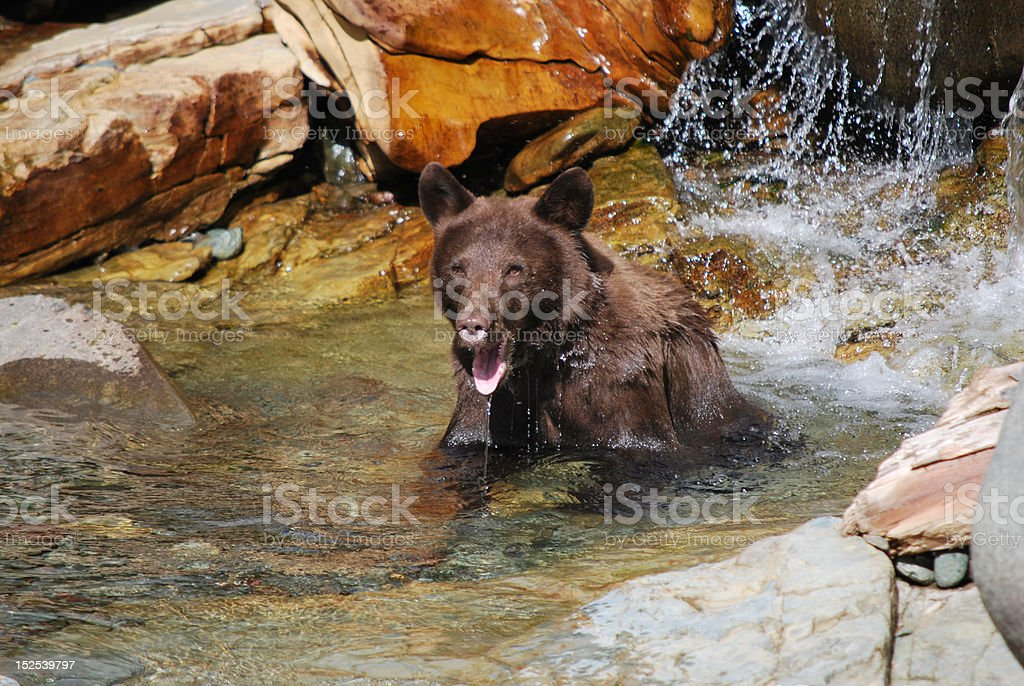 Black Bear in Water royalty-free stock photo