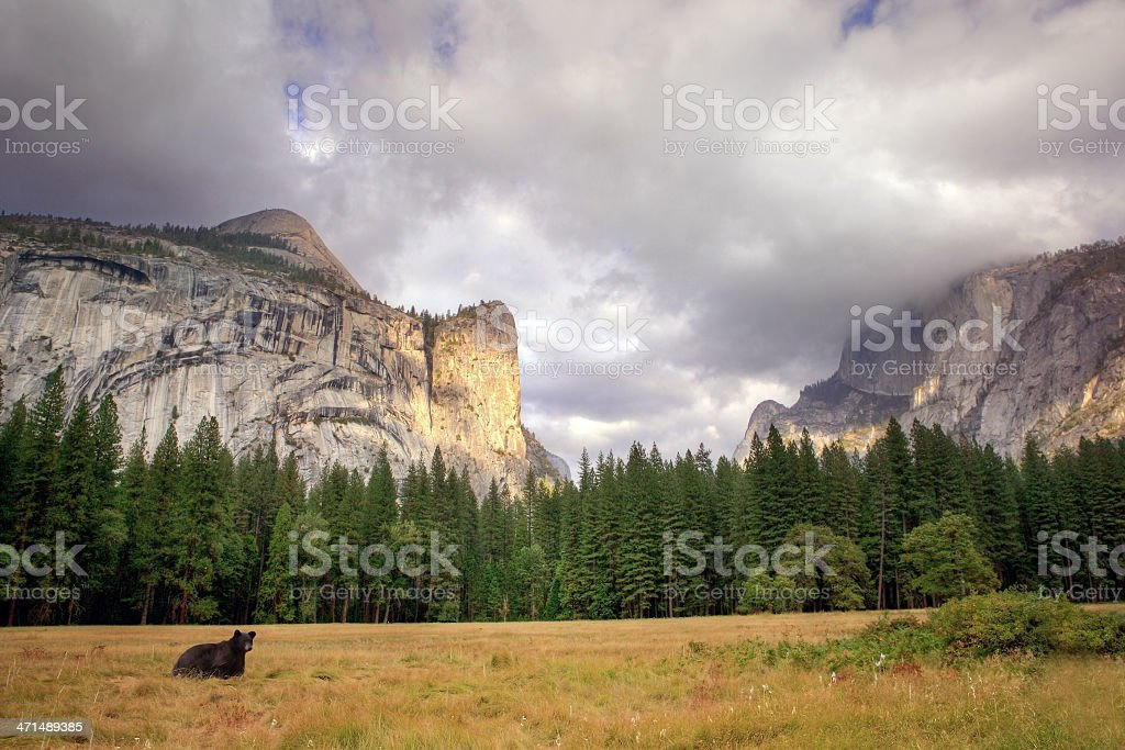 black bear in Yosemite valley stock photo